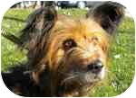 Skye Terrier Mix Dog for adoption in Plainfield, Illinois - Winslow
