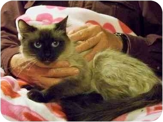 Balinese Cat for adoption in Beaumont, Texas - Wiggy