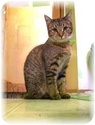 Domestic Shorthair Cat for adoption in Shelton, Washington - Beverly