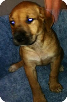 Beagle/Shepherd (Unknown Type) Mix Puppy for adoption in Pompton Lakes, New Jersey - Gulia