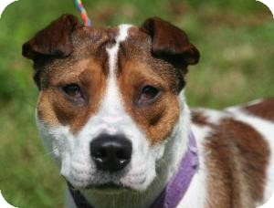 Shar Pei/Jack Russell Terrier Mix Dog for adoption in Ponderay, Idaho - Angel