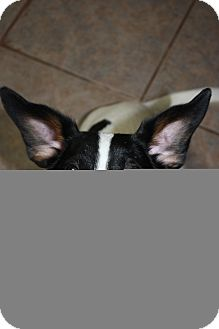 Rat Terrier Mix Dog for adoption in Stilwell, Oklahoma - Mindy
