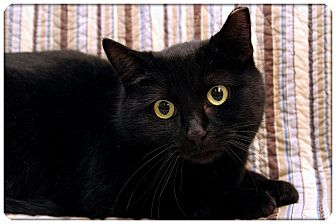 Domestic Shorthair Cat for adoption in Sterling Heights, Michigan - Sabina - ADOPTED!