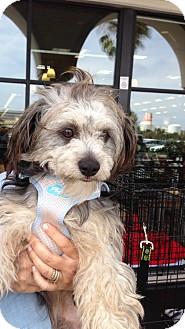 Havanese/Wheaten Terrier Mix Puppy for adoption in El Segundo, California - Lela