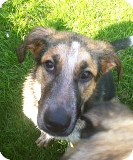 German Shepherd Dog/Hound (Unknown Type) Mix Puppy for adoption in Port Hope, Ontario - Arthur