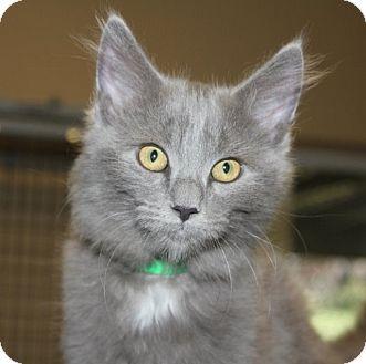 Domestic Longhair Kitten for adoption in Grants Pass, Oregon - Nova