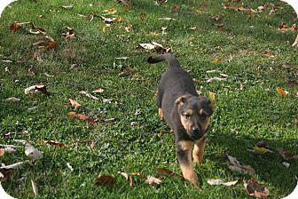 Shepherd (Unknown Type)/Labrador Retriever Mix Puppy for adoption in Morgantown, West Virginia - Freckles