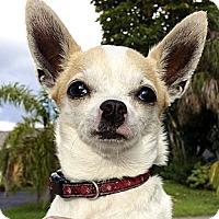 Adopt A Pet :: Sandy - North Palm Beach, FL
