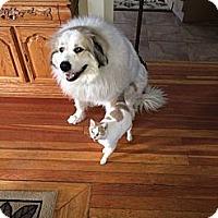 Adopt A Pet :: Shamay - Minneapolis, MN