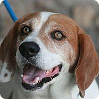 Adopt A Pet :: Shiloh - Canoga Park, CA