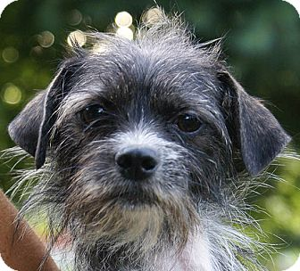 Wirehaired Fox Terrier/Terrier (Unknown Type, Small) Mix Dog for adoption in Hagerstown, Maryland - Lovey