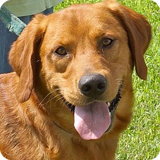 Retriever (Unknown Type) Mix Dog for adoption in Sprakers, New York - Shawn
