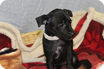 Chihuahua Mix Puppy for adoption in Waldorf, Maryland - Marcy