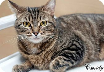 Domestic Shorthair Cat for adoption in Manahawkin, New Jersey - Cassidy
