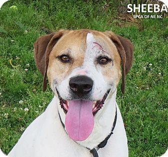 Hound (Unknown Type)/Labrador Retriever Mix Dog for adoption in Elizabeth City, North Carolina - Sheeba  SOS  UPDATE