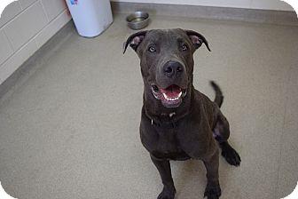 Weimaraner/Great Dane Mix Dog for adoption in Bucyrus, Ohio - Whymie