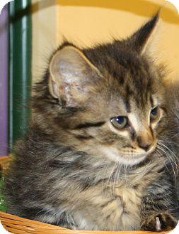 Domestic Mediumhair Cat for adoption in Lovingston, Virginia - Zebra