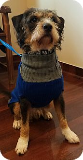 Wirehaired Fox Terrier Mix Dog for adoption in Palatine, Illinois - Clark