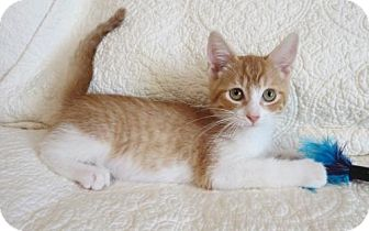 Domestic Shorthair Cat for adoption in Hamilton, Ontario - Dean