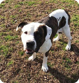 American Bulldog Mix Dog for adoption in Richmond, Virginia - Remi