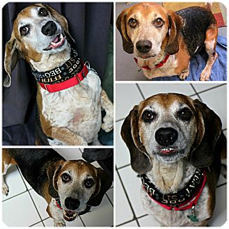 Beagle Dog for adoption in Forked River, New Jersey - Lucky