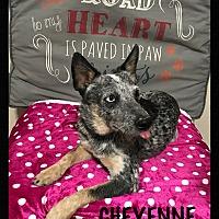 Adopt A Pet :: Cheyenne - Tempe, AZ