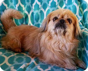 Pekingese Mix Dog for adoption in Buffalo, New York - PadThai