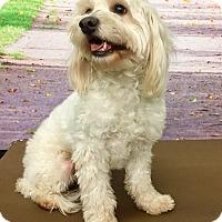 Adopt A Pet :: Mitch - Encino, CA