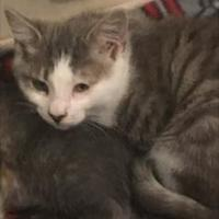 Adopt A Pet :: Benny Hill - Santa Cruz, CA