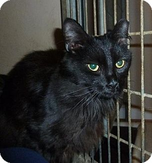 Domestic Mediumhair Cat for adoption in Ashland, Virginia - Tailpipe-ADOPTED!!!