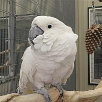 Cockatoo for adoption in Elizabeth, Colorado - Nikko