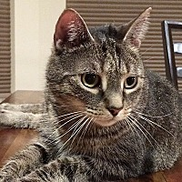 Domestic Shorthair Cat for adoption in Durham, North Carolina - Junebug Jones