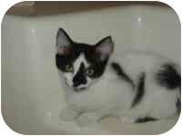 Domestic Shorthair Kitten for adoption in Arlington, Virginia - Cherrie & Chelsea