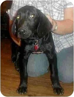 Labrador Retriever/Gordon Setter Mix Puppy for adoption in Cincinnati, Ohio - Nellie