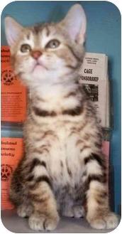 Domestic Shorthair Kitten for adoption in Cold Lake, Alberta - Hope