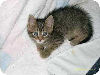 Domestic Shorthair Kitten for adoption in Taber, Alberta - Mason