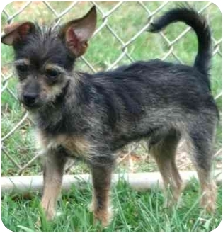Chihuahua/Yorkie, Yorkshire Terrier Mix Puppy for adoption in McDonough, Georgia - Ziggy