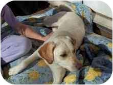 Labrador Retriever Mix Dog for adoption in Foster, Rhode Island - Maddie