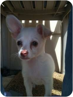 Chihuahua Mix Puppy for adoption in Astoria, New York - Kevin