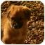Photo 3 - Collie Mix Puppy for adoption in Glastonbury, Connecticut - Paddington