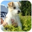 Photo 4 - Jack Russell Terrier Mix Puppy for adoption in Hendersonville, Tennessee - Gorgeous GEORGE