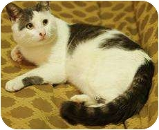 Domestic Shorthair Cat for adoption in Medford, Massachusetts - Santano