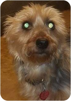 Silky Terrier/Yorkie, Yorkshire Terrier Mix Dog for adoption in Oak Ridge, New Jersey - Toby