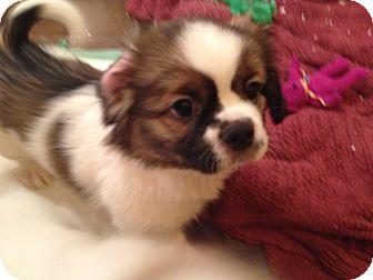 Dachshund/Pekingese Mix Puppy for adoption in waterbury, Connecticut - GUMDROP