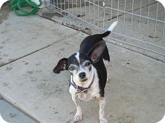 Chihuahua Dog for adoption in Atascadero, California - Vivian