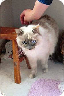 Ragdoll Cat for adoption in Davis, California - Precious Kitty
