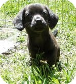 Dachshund/Chihuahua Mix Puppy for adoption in Spring Valley, New York - Amy