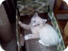Domestic Shorthair Kitten for adoption in East Brunswick, New Jersey - Ringo
