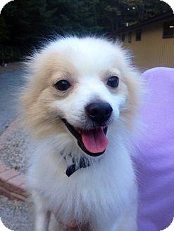Pomeranian/Chihuahua Mix Dog for adoption in Muskegon, Michigan - Darren