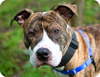 American Staffordshire Terrier/American Pit Bull Terrier Mix Dog for adoption in Portland, Oregon - Diego MCAS